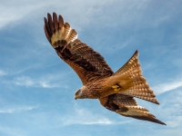 The Red Kite_Peter Williams_(020.0)