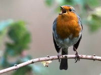 The Ubiquitous Robin_Peter Williams_(015.0)
