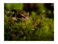 Baby frog_Richard Hipwell Prints_(015.0)