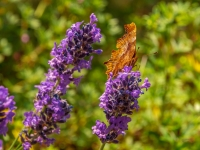 Butterfly on Lavender_Tom Leach Prints_(014.0)