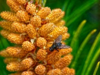 Pine Tree Flower and Flesh Fly_Peter Lancaster Prints_(015.0)