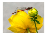 Resting on a Globeflower_Peter Williams Prints_(019.0)