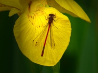 Yellow Water Iris and Red Damselfly_Peter Lancaster Prints_(015.0)