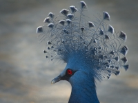 Crowned Pigeon_Peter Lancaster_(016.0)_