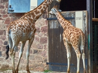 your having a giraffe_Mickey Anders_(013.0)_