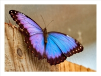 blue butterfly_Mickey Anders_(013.0)_