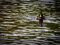 Duck_Mark-Rigby-PDI_018.0