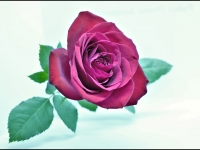 A-Rose-for-You-My-Love_Peter-Armstrong-PDI_016.0