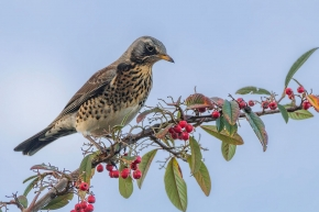 Fieldfare-Deeside-02-01-17_04a