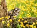 Little-owl_6