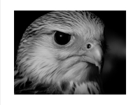 Gyr Falcon_Julie Simpson Prints_(014.0)