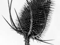 Thistle be the day_Rebecca Newman Prints_(016.0)