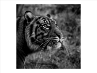 tiger_Richard Hipwell prints_(020.0)