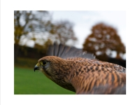 Flight of the Kestrel_Julie Simpson Prints_(014.0)