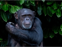 Chimpanzee-in-the-Shade_Peter-Williams-PRINTS_018.0