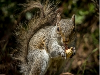 Squirrel_Becky-Newman-Prints_013.0