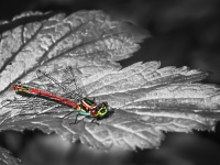 dragonfly_mickey-anders-prints_013.0