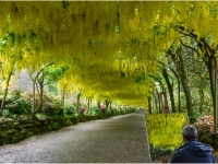 Painting-the-Laburnum_Peter-Williams_016.0