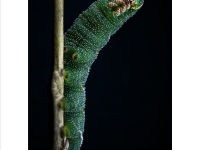 Eyed-Hawk-Moth-Caterpillar_Julie-Simpson__014.0