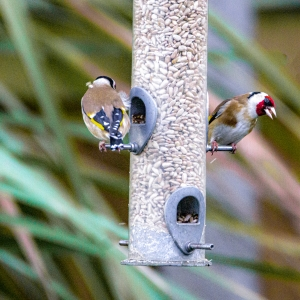 Gold-finches